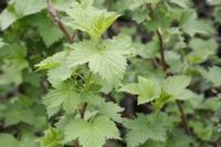 Plantes médicinales : les bienfaits et les vertus du Cassis dans Cassis Ribes_nigrum________________02_07_2005_2